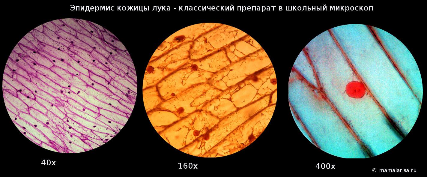 Микропрепараты в школьный микроскоп